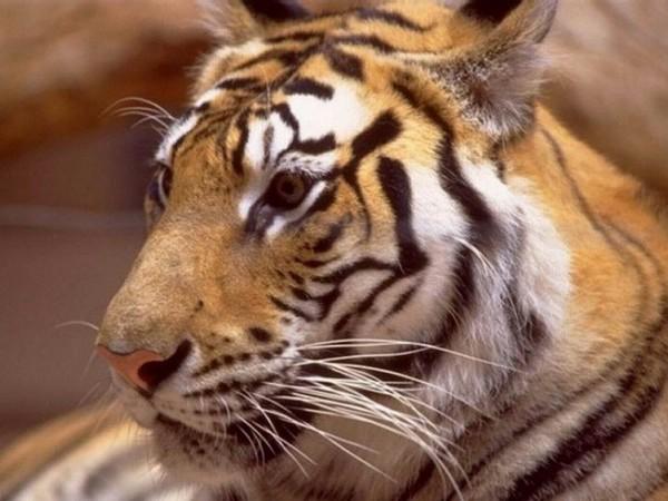 Très beaux fonds écrans tigres ... bisous - Centerblog
